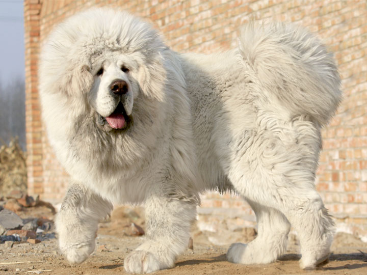Tibetan Mastiff Is The World's Most Expensive Dog