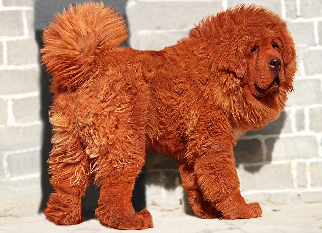 """Big Splash"" : This Red Tibetan Mastiff is the most expensive dog ever sold in recorded history of the world"